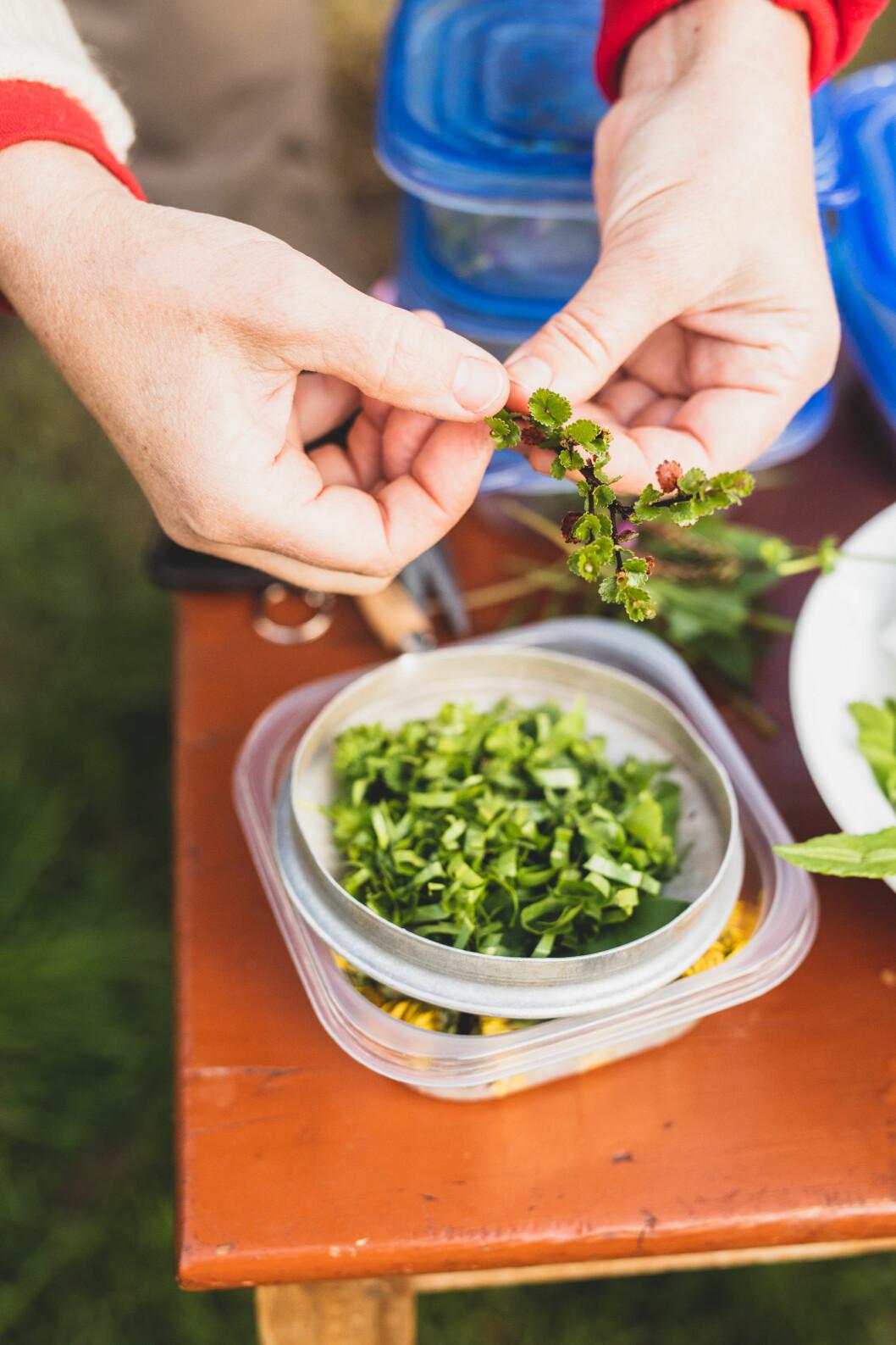 Musøre: Dvergbjøkeblader smaker ypperlig både som te og krydder.