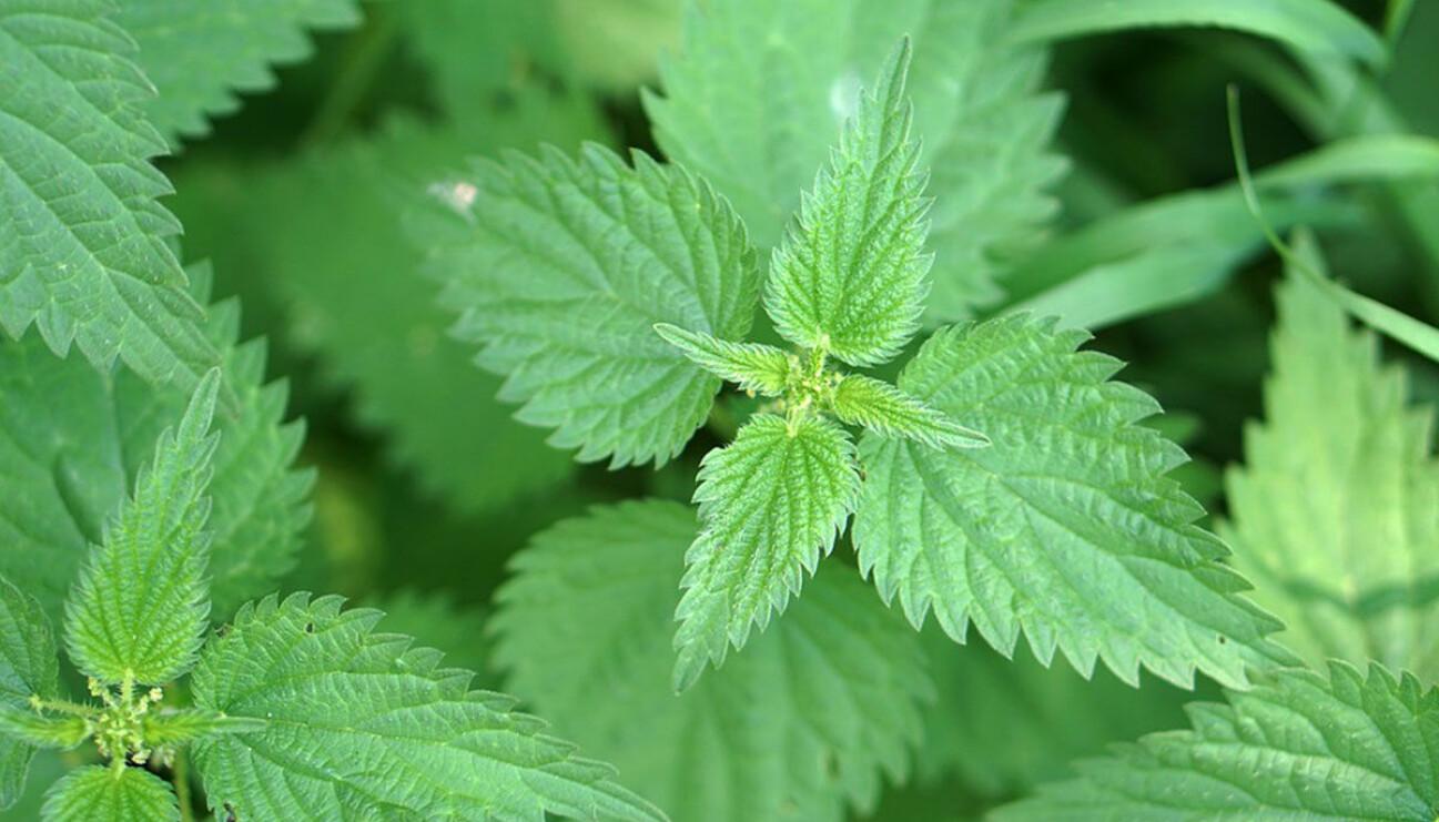 Grønn glede: Brennesle er en av go-to-plantene til Kristin Helene Randulff Nielsen.