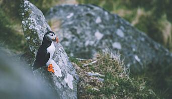 "<span class="" italic"" data-lab-italic_desktop=""italic"">FUGLEØYA: Lundefugl er en av de mest ikoniske fuglene man kan finne på Runde.</span>"