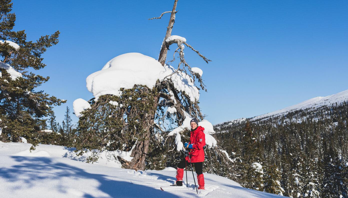 """<span class="""" italic"""" data-lab-italic_desktop=""""italic"""">Rundt 100 meter fra Sverdrup-Thygesons hytte ved Trillemarka i Sigdal står denne gamle furua. – Jeg går ofte innom dette treet. Det får meg alltid til å tenke på August Cappelens maleri «Utdøende Urskog» - og det at de færreste i dag vet hvordan skikkelig gammel naturskog ser ut.</span>"""