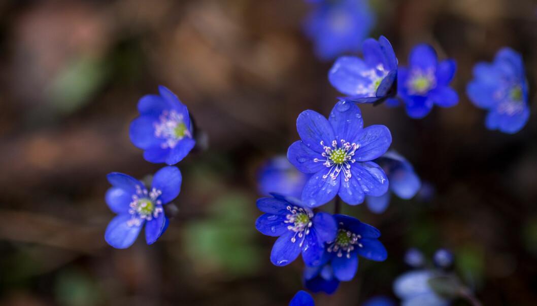 "<span class="" italic"" data-lab-italic_desktop=""italic"">Vandrer du kyststi på Bygdøy kan de se blåveisen blomstre.</span>"